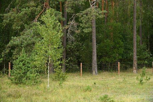Forest, Tree, Birch, Landscape, Nature