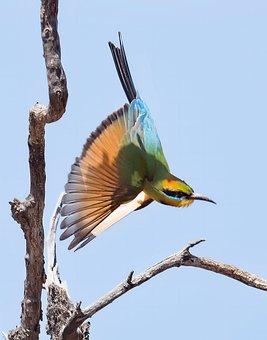 Rainbow Bee-eater, Bee Eater, Avian, Nature, Bird