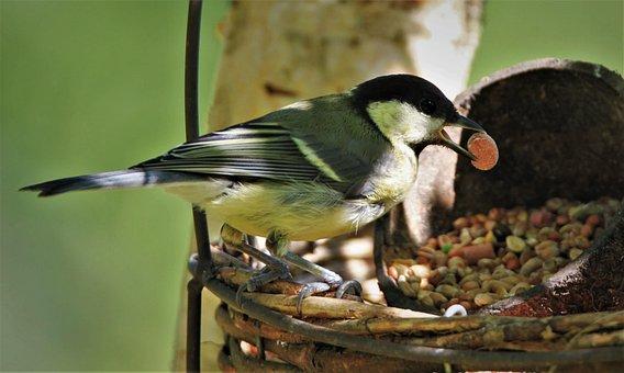Tit, Songbird, Bird, Close Up, Feeding, Animal, Nature