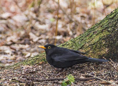 Bird, Blackbird, Nature, Animal, Black, Yellow, Cam