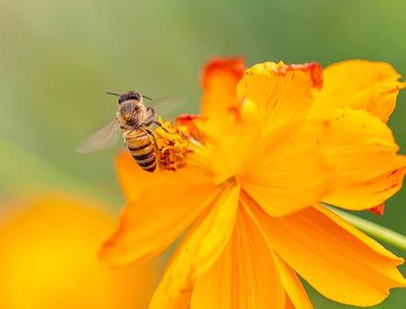 Naturaleza, Abeja, Bees, Pollen, Garden, Spring, Bloom