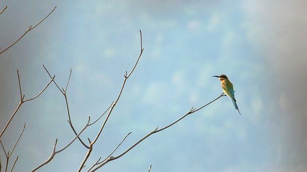 India, Kerala, Bee-eater, Blue-tailed Bee-eater, Branch
