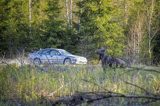 Elk, Moose, Alces Alces, Forest, Animal, Mammal, Nature