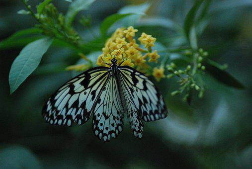 Butterfly, Feeding, Beautiful, White, Black, Nectar