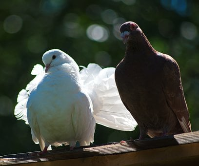 Love, Dove, Couple, Peace, Pigeon, Animal, Flying