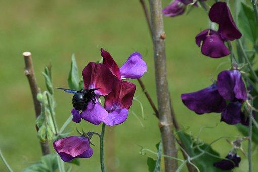Sweet Peas, Garden, Flowers, Flowering, Plant, Nature
