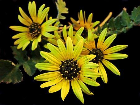 Cape Weed, Yellow, Daisy, Plant, Flower, Pollen, Garden