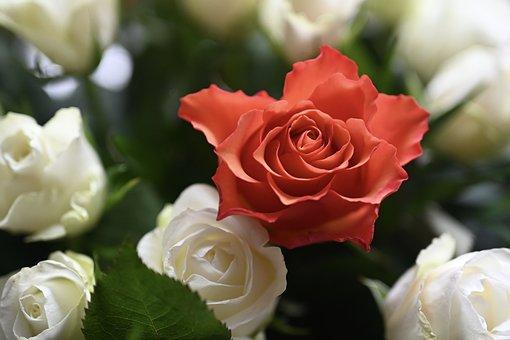 Rose, Blossom, Bloom, Flower, Love