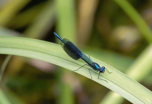Banded Demoiselle, Damselfly, Blue, Wings, Metallic
