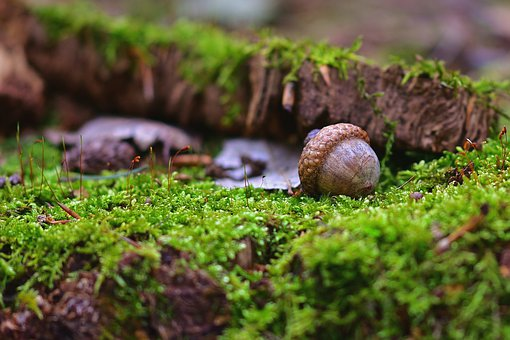 Forest, Nature, Acorn, Tree, Moss, Forget, Autumn