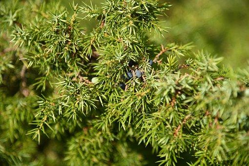 Juniper, Needles, Green, Berries, Nature