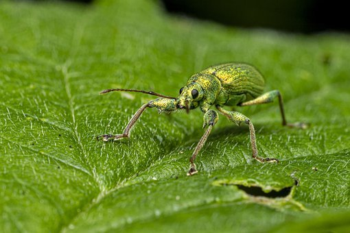 Nettle Weevil, Phyllobius Pomaceus, Insect, Nature