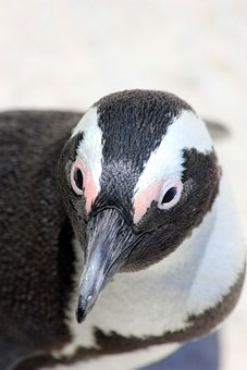 Penguins, South Africa, Look, Beak, Eyes, Nature, Bird
