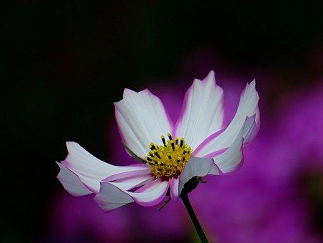 Cosmea, Flower, Bloom, Pink, Blossom, Summer, Petals