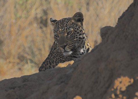 Leopard, Wild, Nature, Predator, Africa