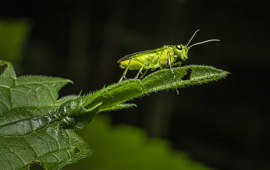Green Bug, Rhogogaster Viridis, Herb, Leaf, Isolated