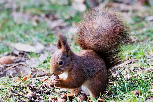 The Squirrel, Young, Redheaded, Tail, Sitting, Rodent
