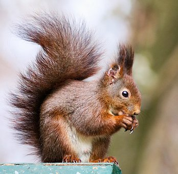 The Squirrel, Rusty, Sitting, Animal, Rodent, Mammal
