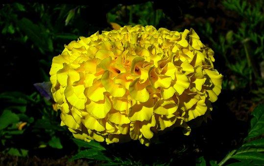 Marigold, Flower, Yellow, Summer, Garden