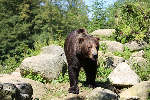Bear, Wildlife, Animal, Zoo, Grizzly