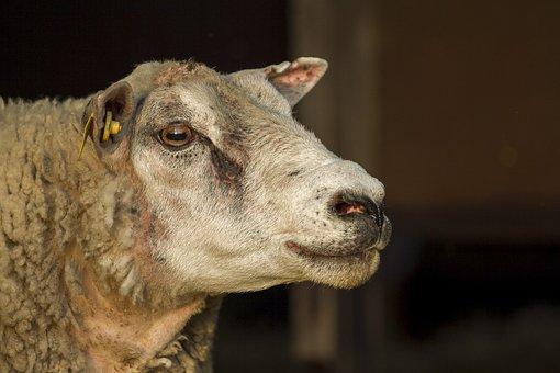 The Sheep, Ram, Animal, Mammal, Wool, Sheep, Texel