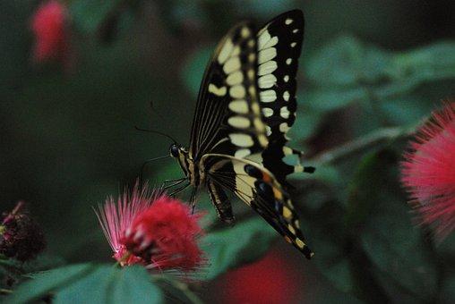 Butterfly, Feeding, Yummy, Nectar, Black, Summer