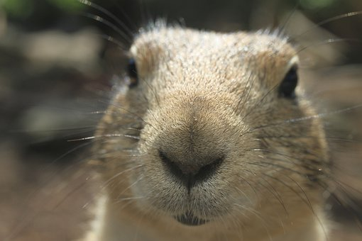 Prairie Dog, Animal, Mammal, Close Up, Zoo, Fur