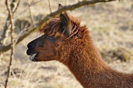Alpaca, Grass, Animal, Nature, Wool, Pasture