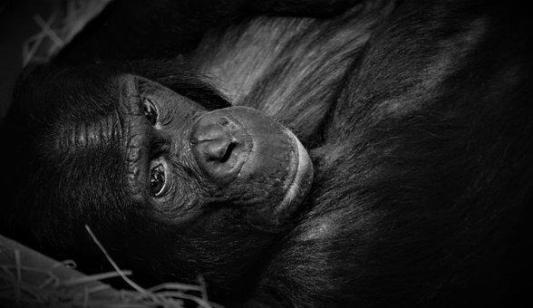 Chimpanse, Monkey, Animal, Portrait, Animal Portrait