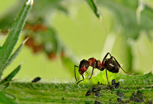 Ant, Aphids, Macro, Insect, Nature, Foraging