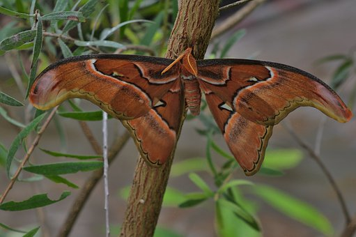 Nature, Butterfly, Atlas Moth, Wing, Close Up