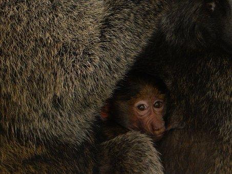 Africa, Monkey, Baby, Baboon, Kenya