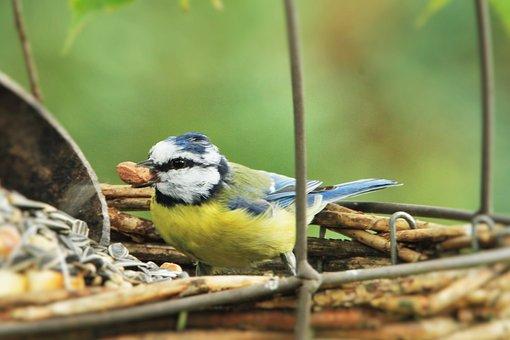Blue Tit, Bird, Songbird, Feeding Space, Peanut, Feed