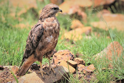 Steppe Buzzard, Claws, Rock, Birds Of Prey, Bright Sun
