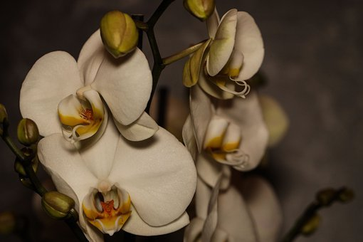 Orchid, Flower, Bud, Blossom, Bloom, Plant, Indoor