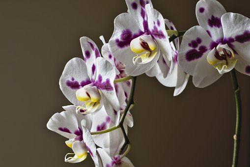Orchid, Phalaenopsis, Blossom, Bloom, Butterfly Orchid