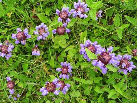 Ajuga Günsel, Medicinal Herb, Lamiaceae, Blue, Violet