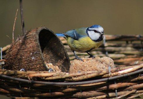 Blue Tit, Photo Of Titmouse, Bird, Songbird, Feeding