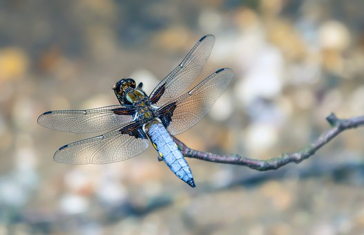 Broad-bodied-chaser, Dragonfly, Spring, Branch, Blue