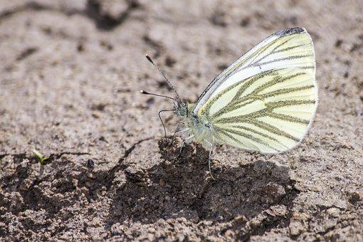 Green-veined White, Pieris Napi, Butterfly, Soil