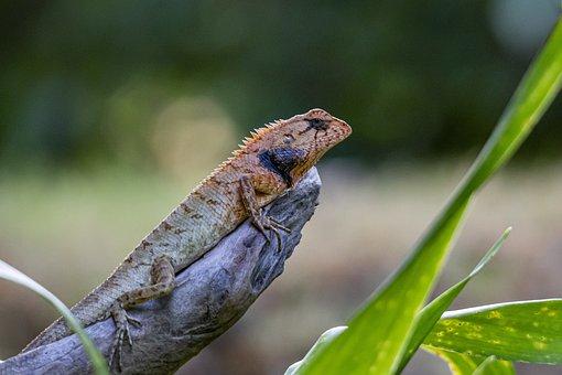 Calotes Versicolor, Oriental Garden Lizard, Herpetology