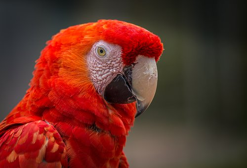Parrot, Red, Bird, Colorful, Feather, Animal, Nature