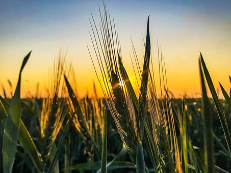 Wheat, Farming, Agriculture, Field, Crop