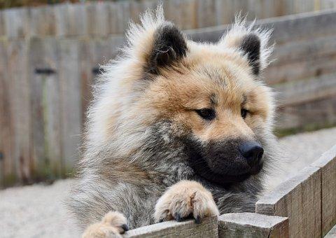Dog, Dog Eurasier