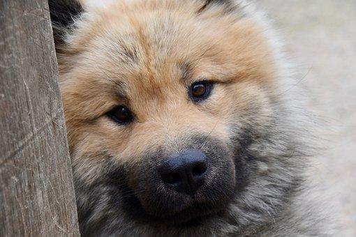 Dog, Dog Eurasier, Dog Portrait