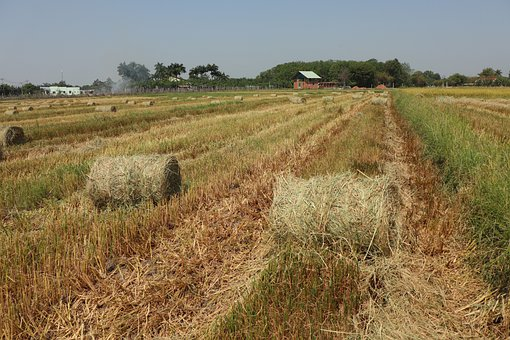 Two Rice Roll In Line, Harvest, Farmer