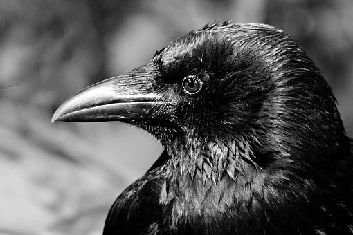 Crow, Bird, Animal, Feather, Plumage, Beak, Eye