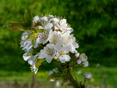 Cherry Blossoms, Flowering Twig, Flowers