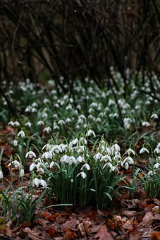 Schneeglocken, Flowers, Nature, Forest, Spring