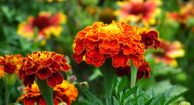 Marigold, Flowers, Colorful, Nature
